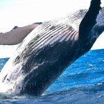 クジラが自撮り?!バイオロギングの権威、佐藤克文氏とは|世界ふしぎ発見