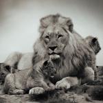 イケメンライオン(ライラ)は旭山動物園で会える!画像も☆マツコの世界