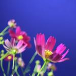 黒姫高原コスモス園2017の見頃や開花状況は?アクセスやクーポン情報もチェック
