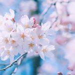 お花見|大阪城公園2018の見頃や開花時期は?屋台やライトアップ情報も